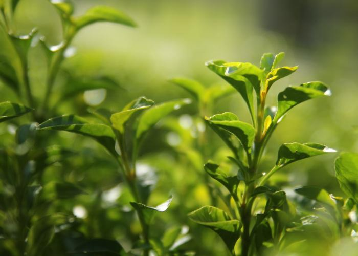 Close-up of green tea leaves