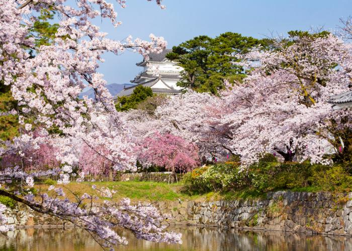 Odawara Castle in springtime, surrounded by cherry blossom trees